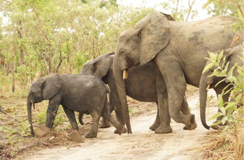 elephant-peu