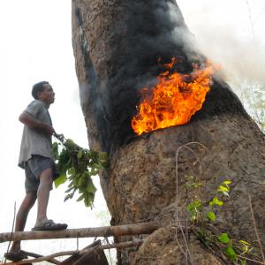 Cambodge – Veun Sai  – Siem Pang  – Dipterocarpus alatus