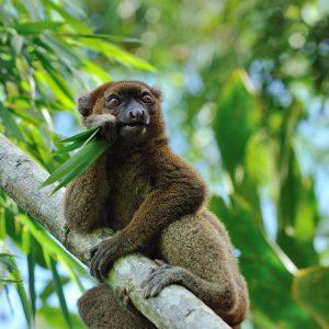 Madagascar – Le grand lémur bambou